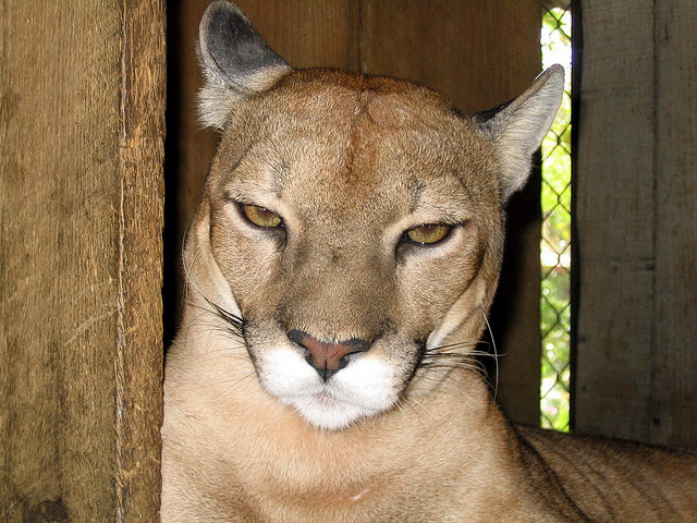 cougar bored_Carlos Smith
