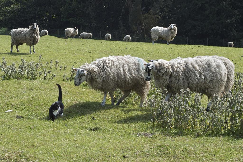 cat sheep_Plashing Vole
